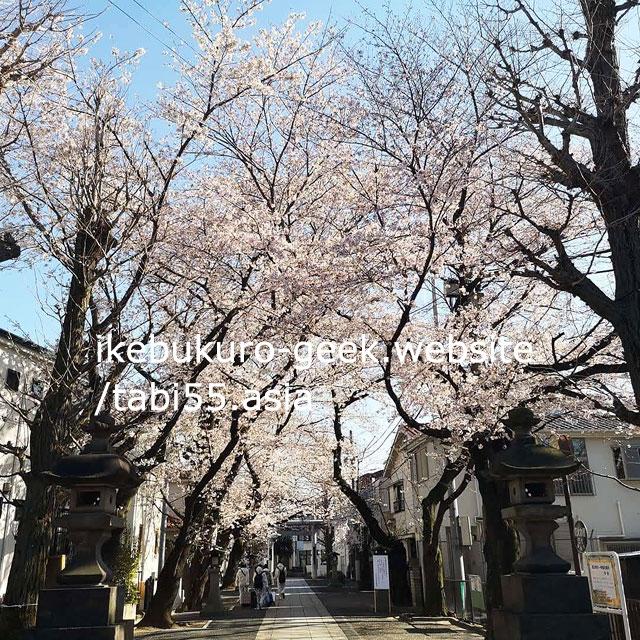 sakura@Ikebukuro Hikawa Jinzya Shrine