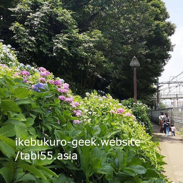 You can enjoy Ajisai with various trains at Asukayama Park
