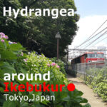Hydrangea(Ajisai) around Ikebukuro