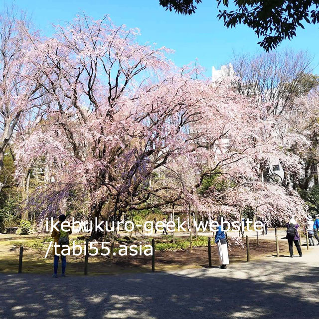 Weeping cherry tree in Spring(end of March)