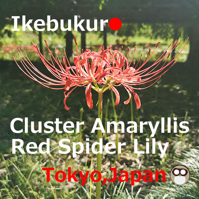 Cluster Amaryllis(Red Spider Lily) in or near Ikebukuro